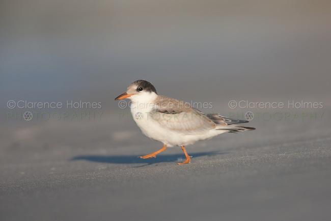 Common Tern (Sterna hirundo) - Juvenile - Juvenile, Nickerson Beach, Lido Beach, NY