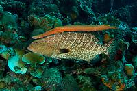 Tiger grouper, Mycteroperca tigris, with trumpetfish, Aulostomus maculatus, shadowing
