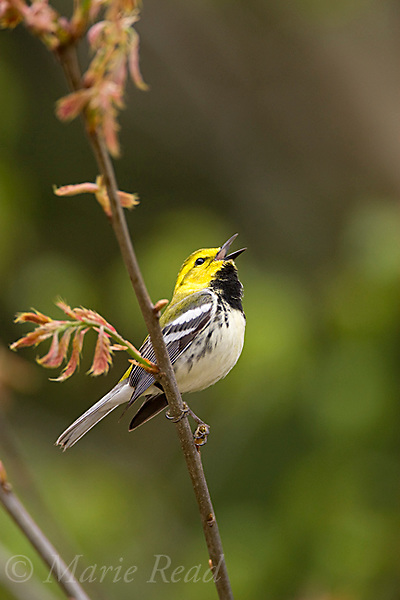 Black-throated Green Warbler (Dendroica virens), male in breeding plumage, singing in spring, New York, USA