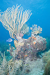 Bonaire, Netherlands Antilles; a large sea rod grows on top of a colorful coral reef structure with blue water in the background , Copyright © Matthew Meier, matthewmeierphoto.com All Rights Reserved