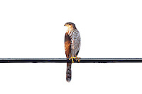 Coopers Hawk juvenile, Arizona, USA