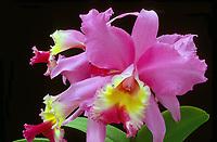 Cattleya Pumpernickel 'Stardust' orchid hybrid of Cattleya loddigesii x Gloriette, 1969