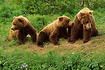Three grizzly bear cubs sitting in a row at the McNeil River Sanctuary in Alaska.