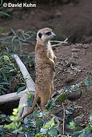 0329-1017  Meerkat on Lookout, Suricata suricatta  © David Kuhn/Dwight Kuhn Photography.