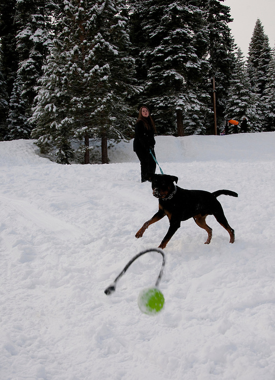 California, Lake Tahoe: Young Rottweiler dog 15 month old in the snow at  North Lake Tahoe Regional Park.  Photo copyright Lee Foster.  Photo # 107562