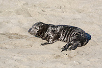 Northern Elephant Seal - Mirounga angustirostris - young pup