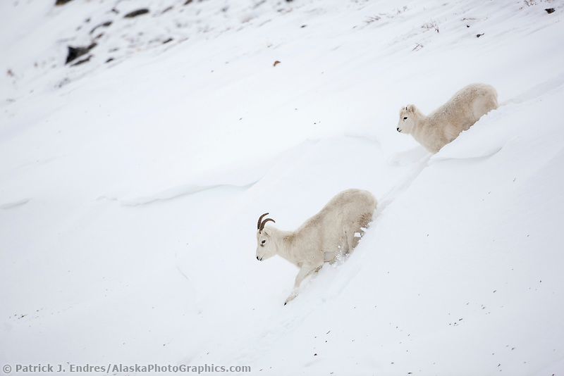 A dall sheep ewe and her lamb trudge through a deep snow bank in the Brooks Range mountains of Alaska's Arctic.