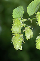 HOP Humulus lupulus (Cannabaceae) Height to 6m<br /> Twining, hairy hedgerow climber. Grows on a range of soils and often a relict of cultivation. FLOWERS are clustered and greenish yellow (male) or green and hop-like (female) (Jun-Aug). FRUITS are familiar hops that ripen brown in autumn. LEAVES are divided into 3-5 coarse-toothed lobes. STATUS-Widespread, locally common only in S.