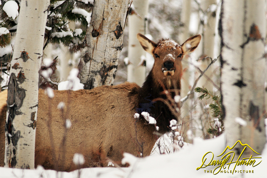 cow, elk, snow, deep, aspens, jackson, hole, grand teton, park,