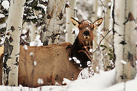cow, elk, snow, deep, aspens, jackson, hole, grand teton, park,