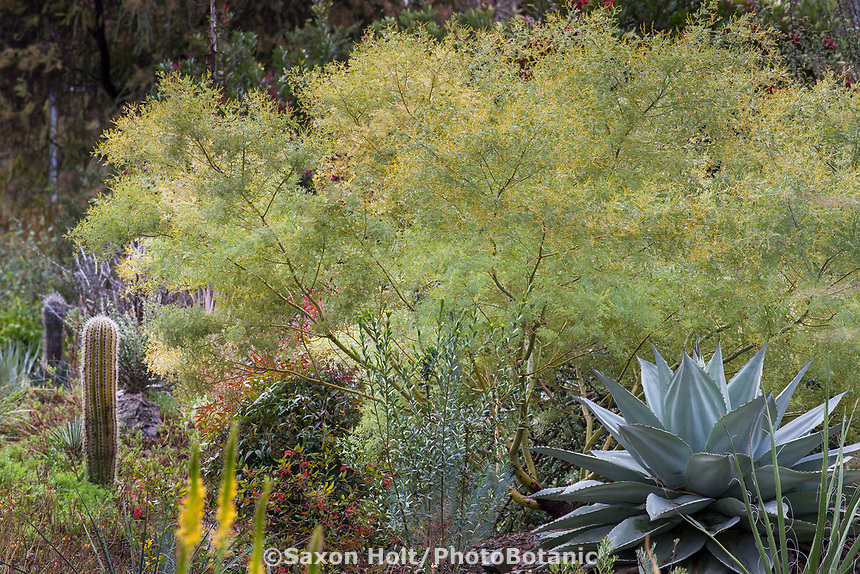 Acacia chinchillensis (Chinchilla Wattle) Australian shrub in Ruth Bancroft Garden