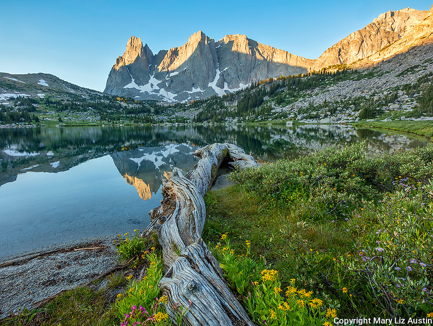 Wind River Range, WY: Flowering groundsel and monkeyflower alongside fallen log at Lonesome Lake with sunrise light on Warrior Peaks and War Bonnet in the Cirque of the Towers; Bridger Wilderness in the Bridger National Forest;