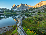 Wind River Range, WY: Flowering groundsel and monkeyflower alongside fallen log at Lonesome Lake with sunrise light on Warrior Peaks and War Bonnet in the Cirque of the Towers; Popo Agie Wilderness in the Bridger National Forest;