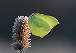 A Brimstone butterfly has spent the night clutching to a last years Betony seed head. Is was a cold frosty morning but the rising sun has awakened the butterfly and its preparing to fly.