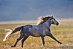 Free roaming mustang, Eastern Sierra, California