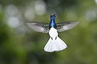 White-necked Jacobin - Florisuga mellivora