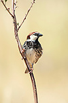 Spanish Sparrow, Passer hispaniolensis, Lesvos, Greece, common resident , lesbos