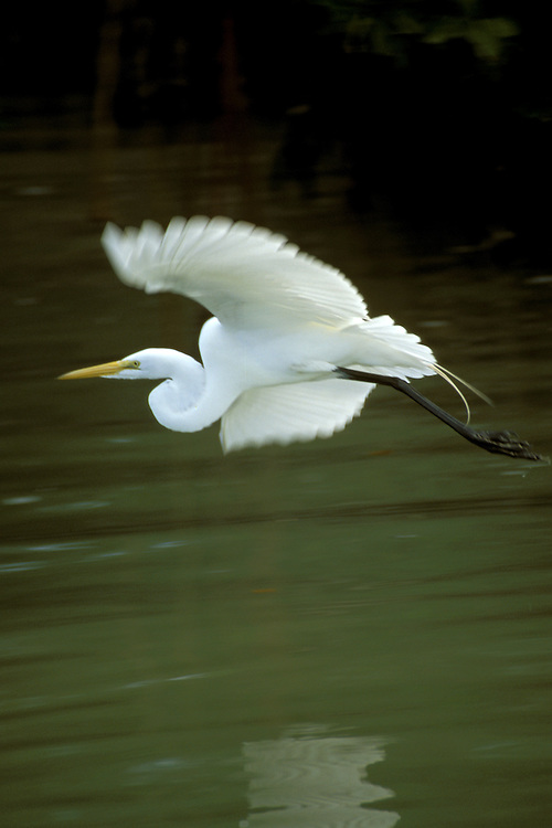 FL: Florida Everglades National Park, bird, flying egret.Photo Copyright: Lee Foster, lee@fostertravel.com, www.fostertravel.com, (510) 549-2202.Image: flever252