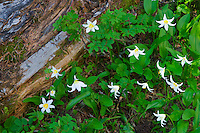Avalanche lilies. Hurricane Ridge. Olympic National Park. Washington