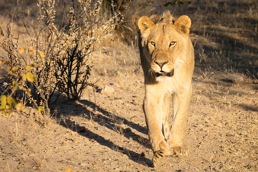 Lion In The Private Ongava Reserve, Etosha.