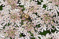 Gefleckter Schmalbock, Blütenbesuch, Strangalia maculata, Stenurella maculata, Leptura maculata, Rutpela maculata, Spotted Longhorn, Yellow-black Longhorn Beetle