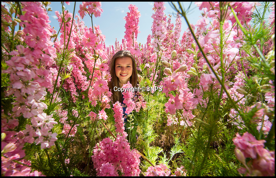 BNPS.co.uk (01202 558833)<br /> Pic: PhilYeomans/BNPS<br /> <br /> Emily Gittoes (11) from Evesham visiting the amazingly colourful field of Delphinium's blooming at the Real Flower Confetti companies headquarters in Pershore, Worcestershire. <br /> <br /> The five different coloured blooms are meticulously hand picked to go into the companies unique natural confetti.