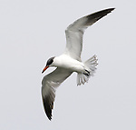 Caspian Tern.Sterna caspia.in flight at Viera Wetlands Viera Florida, February 27, 2008. Fitzroy Barrett