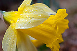 Rainy Daffodil