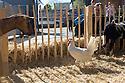 Lamb and chicken are parts of Touch Base exhibition organized by Design Accademy Eindhoven in Fuorisalone Ventura street, Milano April 14, 2016. &copy; Carlo Cerchioli<br /> <br /> Pecora e gallina a Touch Base, la mostra organizzata dalla Design Accademy Eindhoven al Fuorisalone Ventura, Milano 14 aprile.