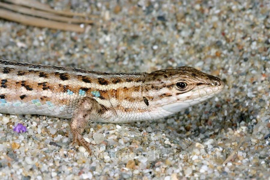 Spanischer Sandläufer, Psammodromus hispanicus, Spanish Psammodromus, Psammodrome d'Edwards