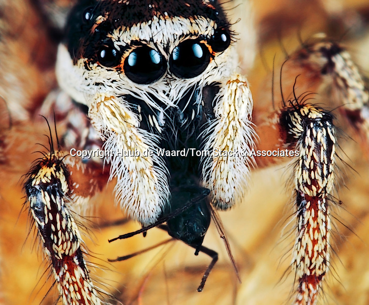 A portrait of a zebra spider which catched a black bean aphid (Aphis fabae). The picture has been made with magnification factor 5 and f/13, using a Canon 7D and the Canon macrolens MP-E 65mm/f2.8..The zebra spider, Salticus scenicus, is a common household jumping spider. Like other jumping spiders, it does not build a web. It uses its four pairs of large eyes to locate prey and its jumping ability to pounce and capture it. Zebra spiders are often noted for their 'curiosity' when observed by humans; many seem aware of their audience and seem to respond to observation by raising their heads and studying the observer...Female zebra spiders are 5–7 millimetres long and males are 5–6 mm . The most distinctive feature of these spiders is their two very large eyes, which is typical for jumping spiders. Although they have eight eyes, the two at the front are the largest and give them excellent binocular vision. These tiny spiders are black with white hairs that form stripes...Aphis fabae is a true bug in the order Hemiptera. Common names include blackfly, black bean aphid, bean aphid and beet leaf aphid. It is a widely distributed pest of agricultural crops (source: Wikipedia).