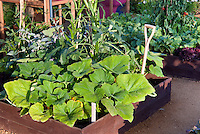 Vegetable Garden in raised beds, squash Sunburst, okra, lettuces, tomatoes, mixture of crops in elevated wooden edged beds garden tool, etc