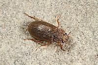 Wasserkäfer, Helophorus spec., water beetle, Wasserkäfer, Hydrophilidae