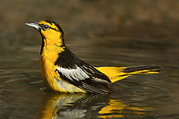561930022 a wild adult male bullocks oriole icterus bullockii bathes in a small pond in the rio grande valley of south texas