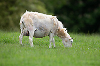 Easy care Ewes  grazing<br /> ©Tim Scrivener Photographer 07850 303986<br />      ....Covering Agriculture In The UK....