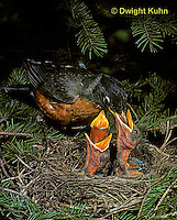 RO03-009z   American Robin - adult feeding young birds at nest - Turdus migratorius