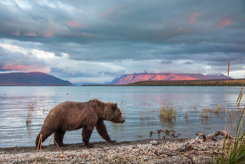 Brown bear walks along the pumice shore of Naknek lake, Kejulik mountains in the distance, Katmai National Park, southwest, Alaska.
