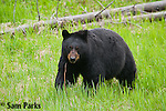 Black bear. Yellowstone National Park, Wyoming.