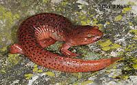 0610-0851  Northern Red Salamander, Pseudotriton ruber ruber  © David Kuhn/Dwight Kuhn Photography