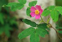 Wild rose blossom, Fairbanks, Alaska