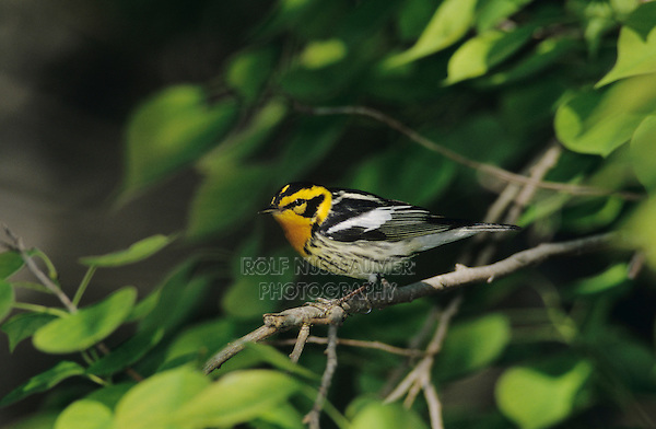 Blackburnian Warbler, Dendroica fusca, male, Port Aransas, Texas, USA, May 2003