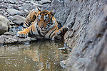 India, Rajasthan, Ranthambhore National Park, Bengal tigress at waterhole
