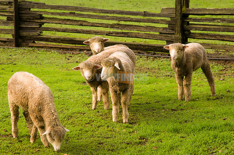 Sheep at the Roederer Estate in California.