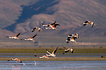 Chilean Flamingo (Phoenicopterus chilensis) flock flying, Laguna de los Pozuelos Natural Monument, Andes, northwestern Argentina