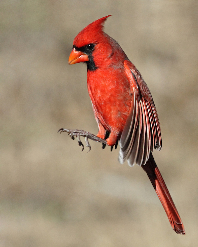 The Northern Cardinal is a fairly large, long-tailed songbird with a short, very thick bill and a prominent crest.