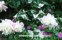 63821-139.15  Peony (Paeonia sp.) and Hardy Geranium (Geranium sanguineum)  Marion Co.  IL