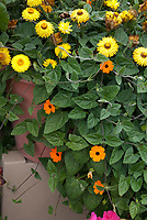 Thunbergia clock vine orange flowers in pot container garden with strawflower Helichrysum Bracteatum, annuals