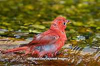 01528-00601 Summer Tanager (Piranga rubra) male bathing, Marion Co., IL