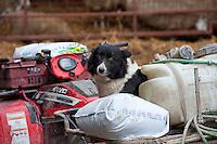 Border Collie sheepdog sitting on an ATV in a farmyard, Welshpool, Powys.
