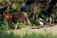 Black-billed Magpie and coyote pup (magpies sometimes came around a coyote den we were photographing looking for food).  Western U.S., summer.